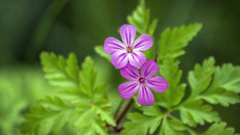 Plantje van de maand: Robertskruid