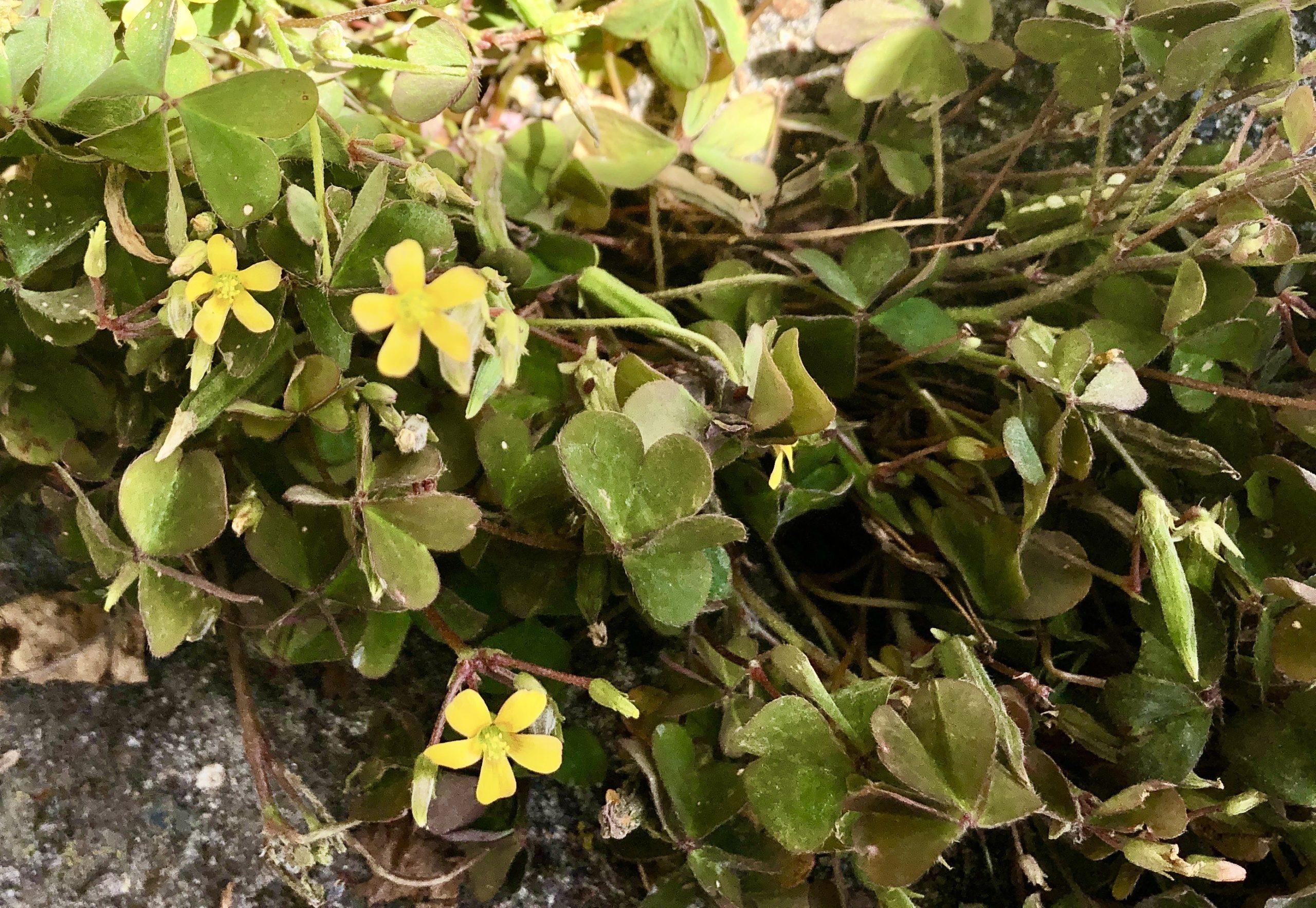 Plantje van de maand: gehoornde klaverzuring