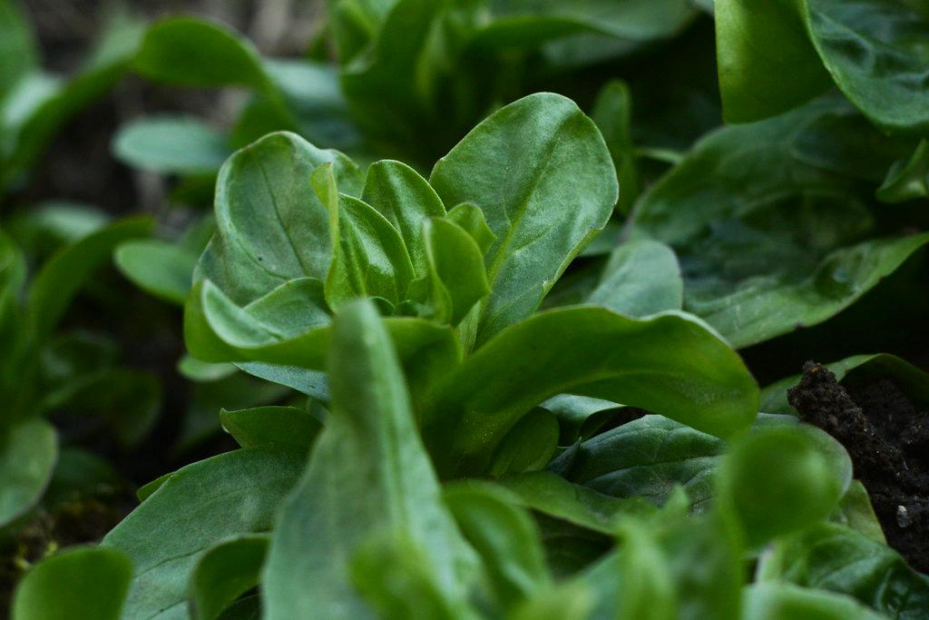 Plantje van de maand: veldsla, écht uit het veld