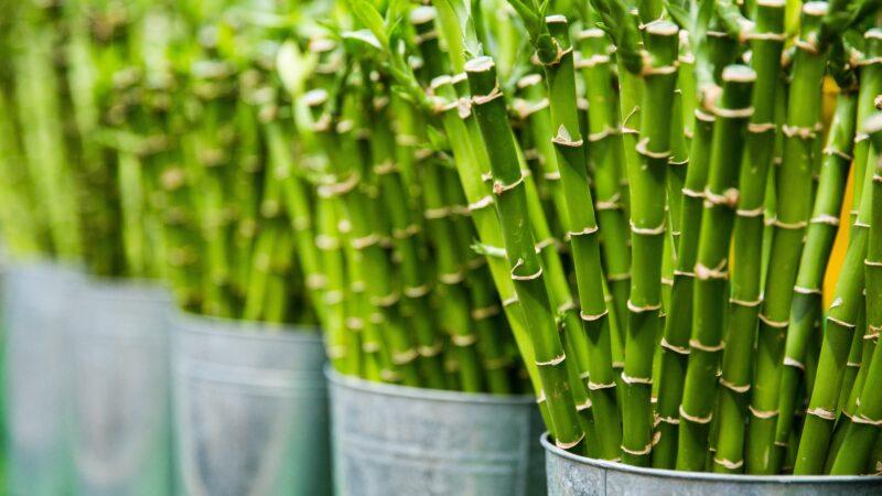 Bamboe: hoe duurzaam is het?